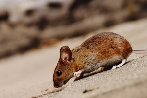 Mice Exterminator, Pest Control in Hanwell, W7. Call Now 020 8166 9746