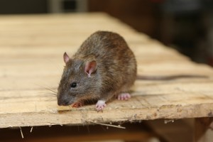 Rodent Control, Pest Control in Hanwell, W7. Call Now 020 8166 9746