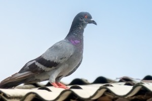 Pigeon Control, Pest Control in Hanwell, W7. Call Now 020 8166 9746